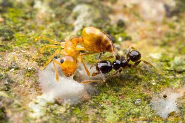 Intense Macro Photos of Ants Battling to the Death Crematogaster Uganda2 L copy
