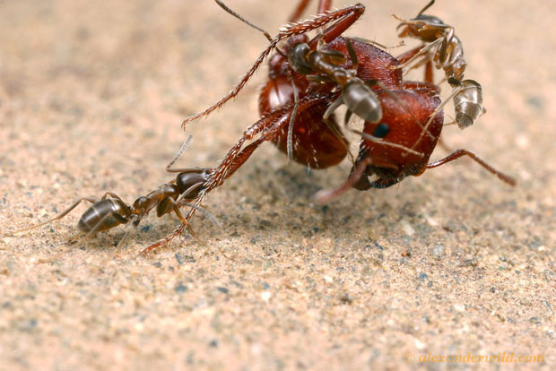 Intense Macro Photos of Ants Battling to the Death LinepithemaHumile12 L copy