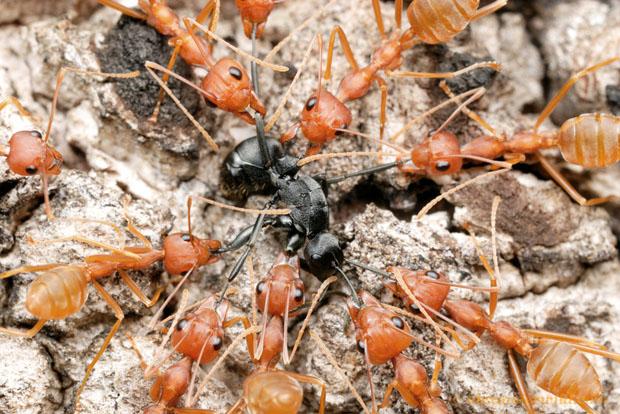 Intense Macro Photos of Ants Battling to the Death longinoda19a L copy