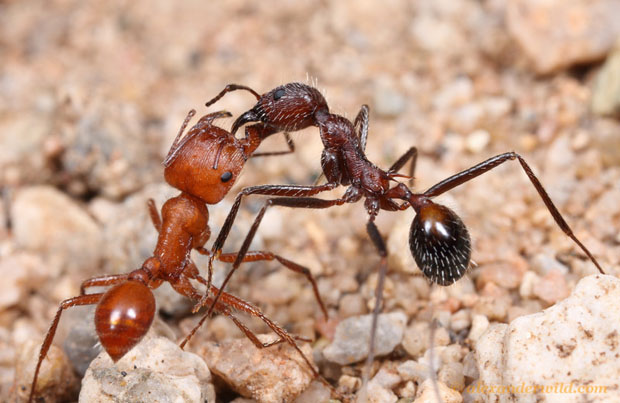 Intense Macro Photos of Ants Battling to the Death maricopa11 L copy