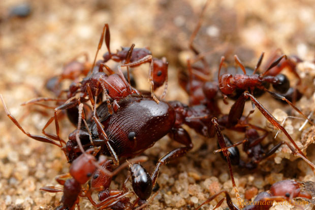 Intense Macro Photos of Ants Battling to the Death sericeiventre4 L copy