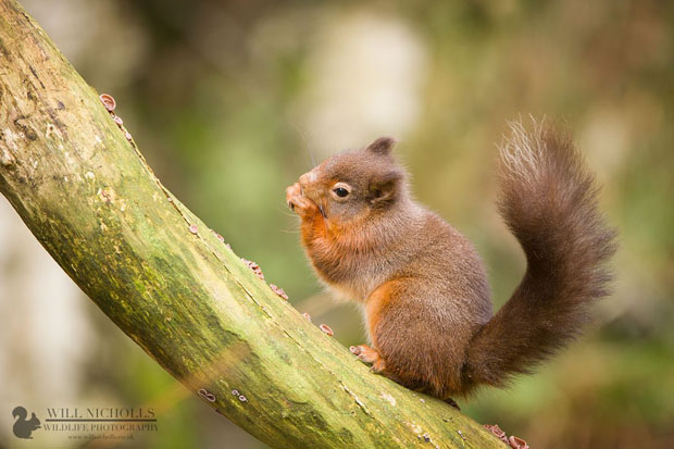 Photographing the Endangered European Red Squirrel 135362 432177930171210 979040370 o