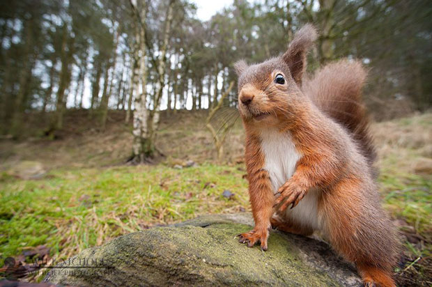 Photographing the Endangered European Red Squirrel 395595 288647397857598 939219915 n