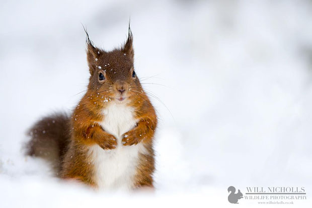 Photographing the Endangered European Red Squirrel 740036 455126527876350 627000847 o