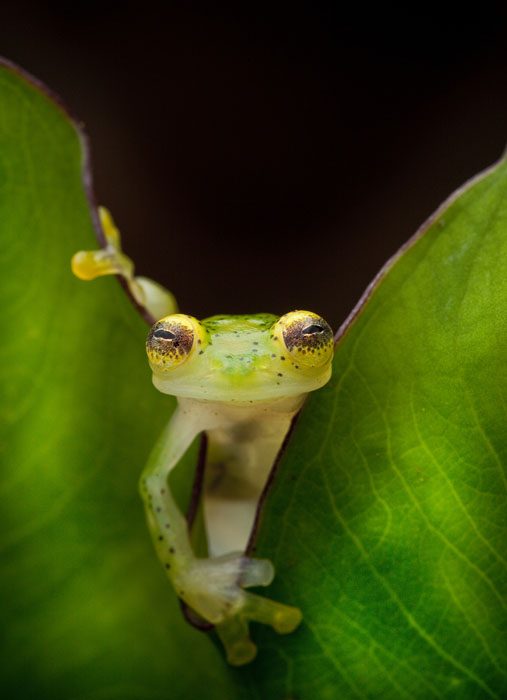 A glass frog, Hyalinobatrachium ruedai, peers through a leaf in the Choco of Colombia as we search for lost frogs.