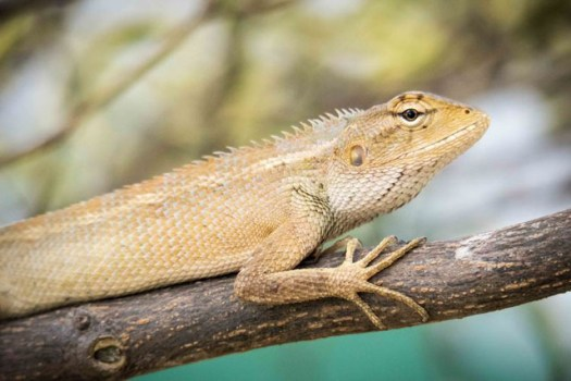 A very obliging common lizard here in Singapore, this chap kept an eye on me but let me get as close as I wanted.
