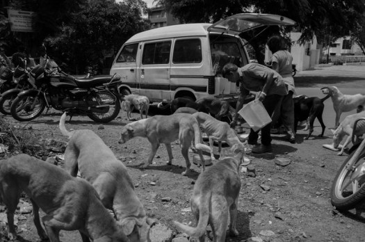 They feed around 200-300 dogs a day. Their daily feeding schedule is 7am to 1pm and then again from 4pm to 12 midnight.