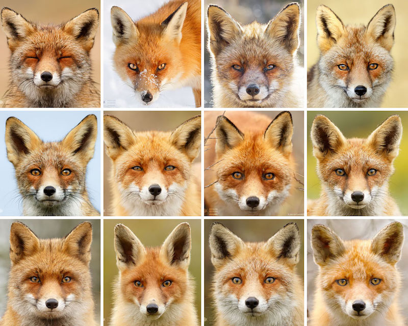 foxfaces_1