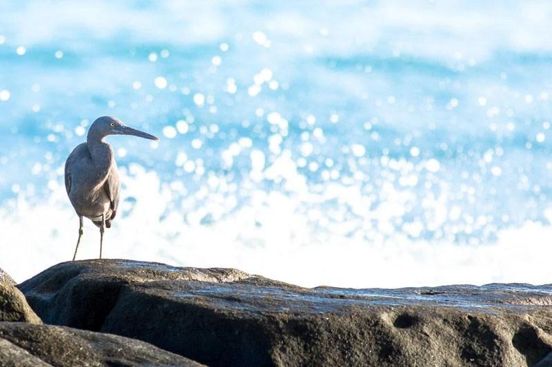 Eastern Reef Heron - Pacific Reef Egret - Eastern Reef Egret (Egretta sacra)