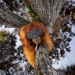 La foto dell'orangutan vince il premio Nature TTL Photographer of the Year 2021