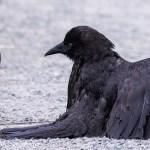 Fotografo cattura una rara vista di un corvo che fa il bagno alle formiche
