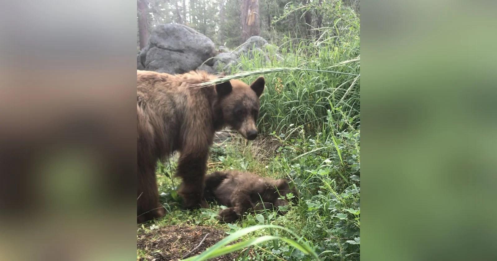 La foto mostra il cucciolo di mamma orsa in lutto ucciso da un autista a Yosemite