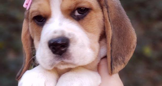 Beagle Fêmea Tricolor – PROMOÇÃO