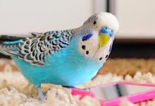 Muhabbet kuşlarında
