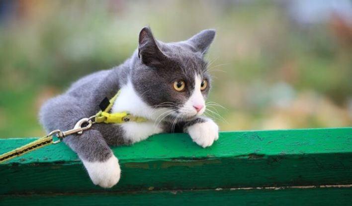 Kedi Gezdirme