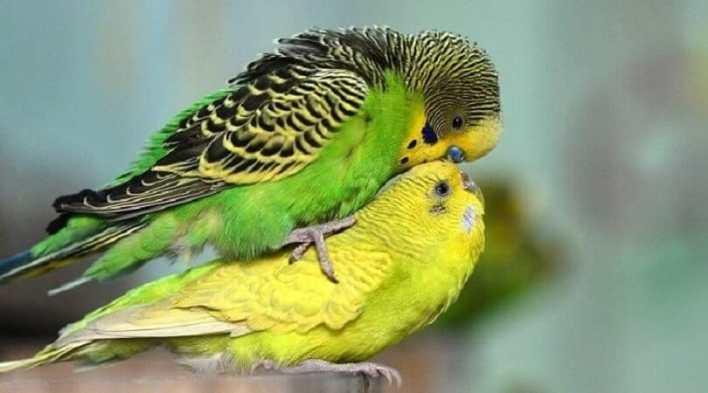 muhabbet kuşu çiftleşme