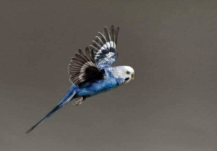 Muhabbet Kuşlarında Yağlanma
