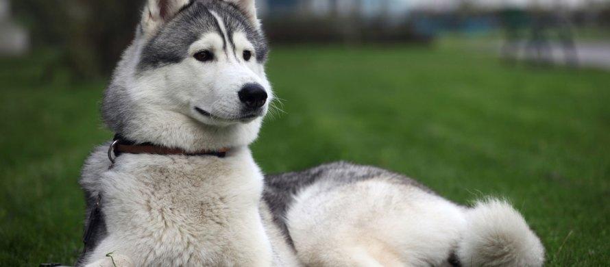 Husky Siberiano cachorro