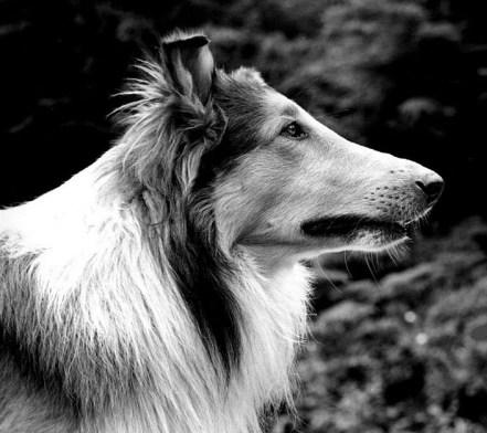 lassie tv