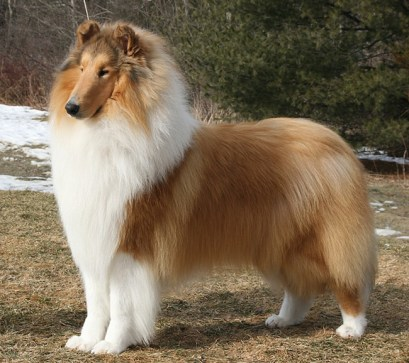 rough collie pelo longo