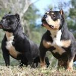 american bully filhotes canil