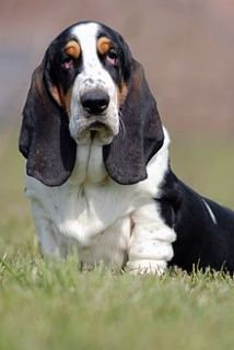 basset hound cachorro