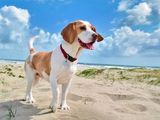 beagle bicolor