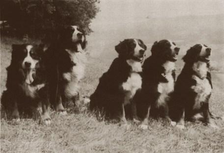 bernese historia do cachorro