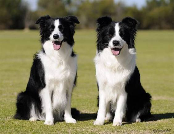 border collie preco