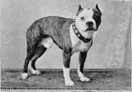 boston terrier historia