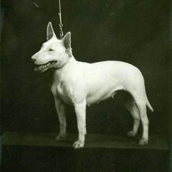 bull terrier historia