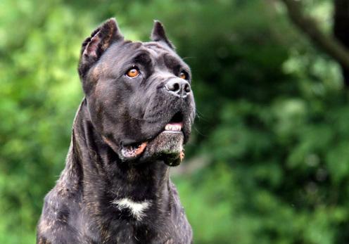 cane corso italiano preto