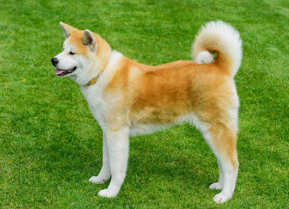 cachorro akita e sua historia