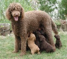 Poodle cachorro