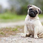 Pug cachorro famoso