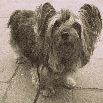 yorkshire terrier historia
