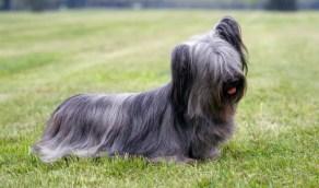 yorkshire terrier historia cachorros
