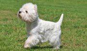 West Highland White Terrier | Cachorro do IG