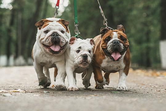 bulldog ingles sp