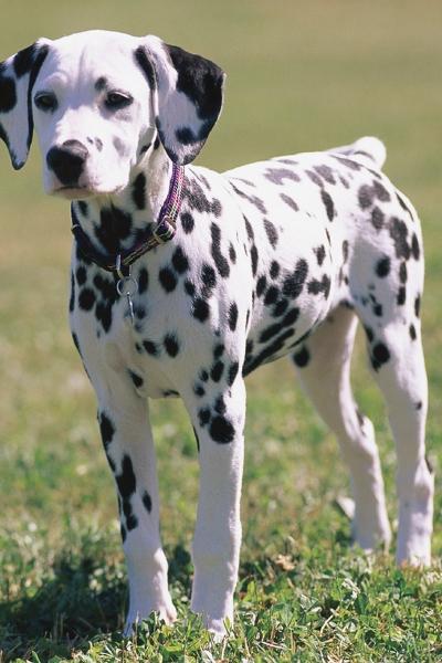 cachorro com manchas pretas