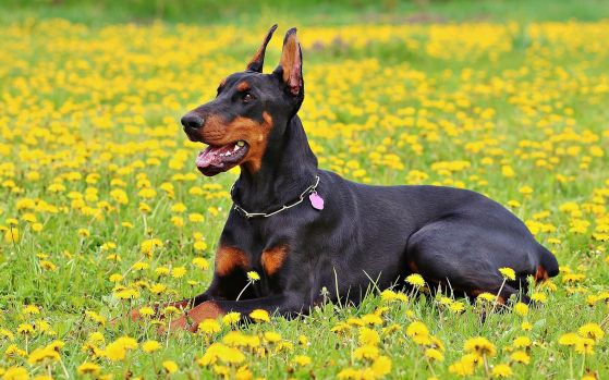 dobermann cao de guarda