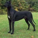 Dog Alemao cachorro