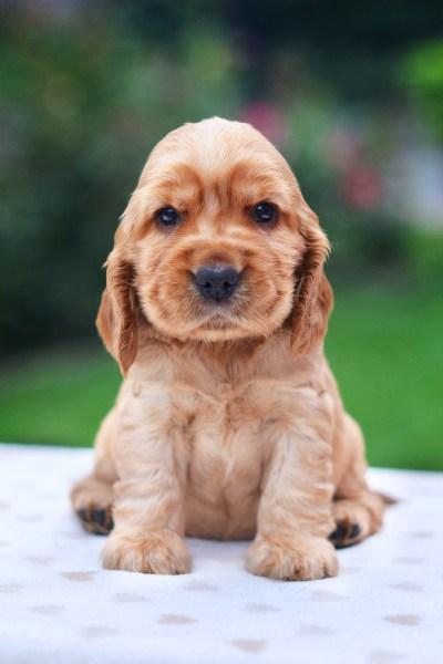 filhote de cocker spaniel cachorro