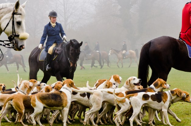cachorro foxhound americano cacando