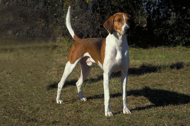foxhound americano cachorro