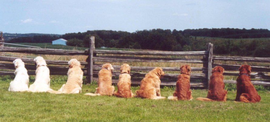 golden retriever cores