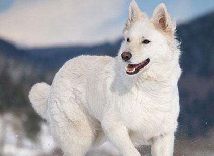 pastor alemão branco
