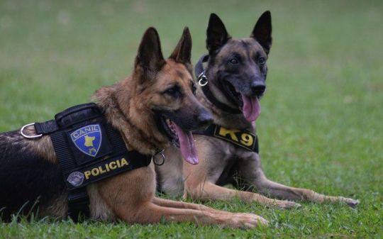 pastor-alemao-cachorro-policial