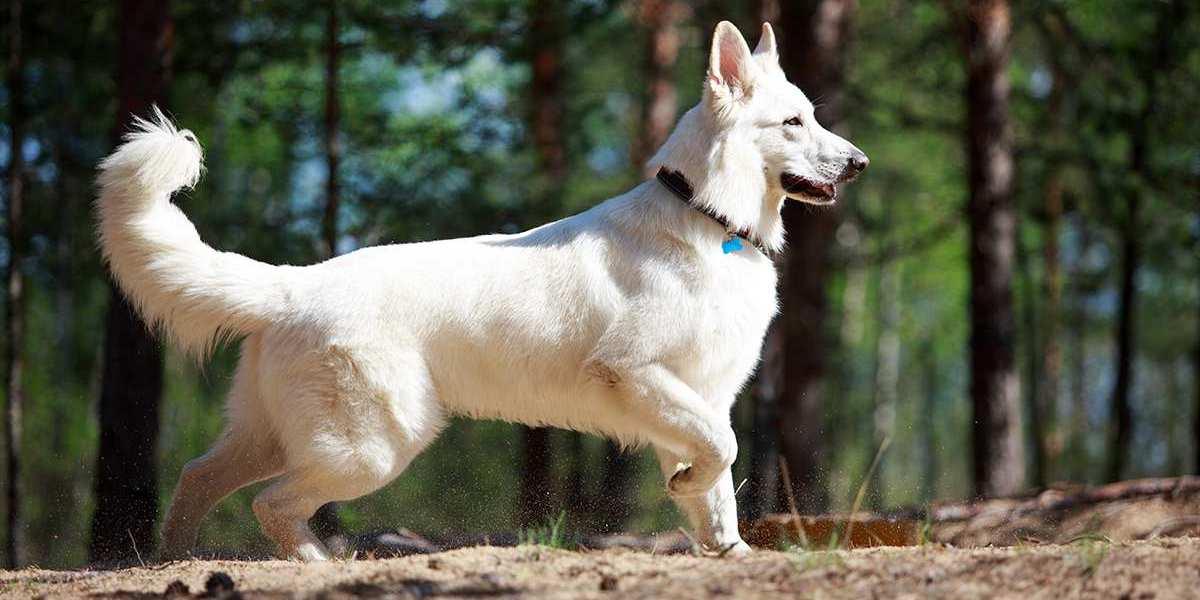 pastor suico branco