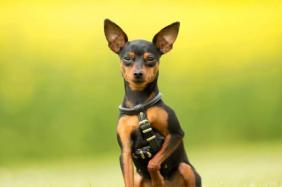 pinscher cachorro